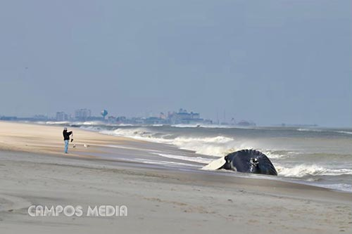 Unpleasant Odor Expected From Decomposing Whale On Assateague