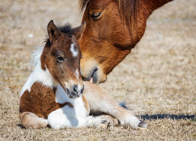 At Least Eight More Foals Expected On Assateague This Year