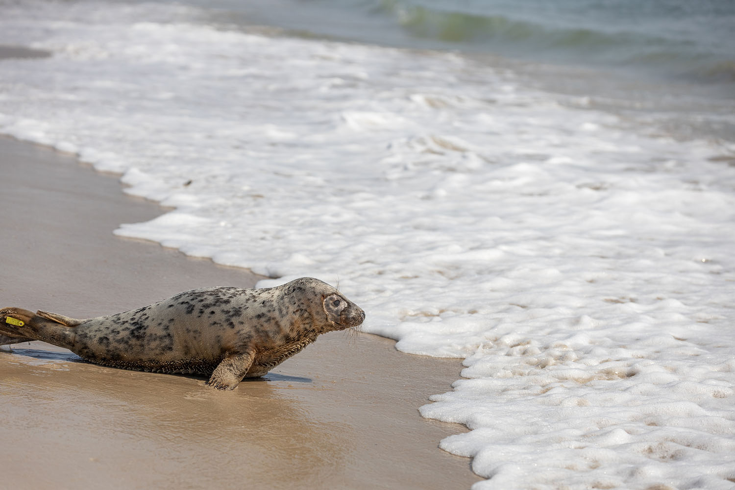 Seal Pup Completes Rehabilitation