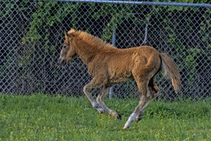 Injured Foal Relocated To Assateague's Virginia Side
