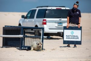 Young Seal Released After Rehabilitation