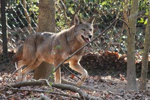 Salisbury Zoo Shares Red Wolf Passed Away At 11